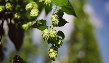 hops-medium